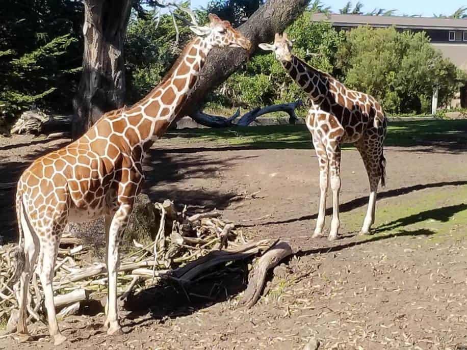 Giraffes san francisco zoo