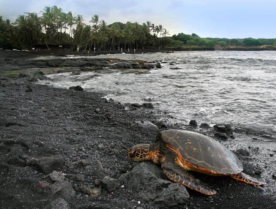 Punaluʻu Beach and green turtle